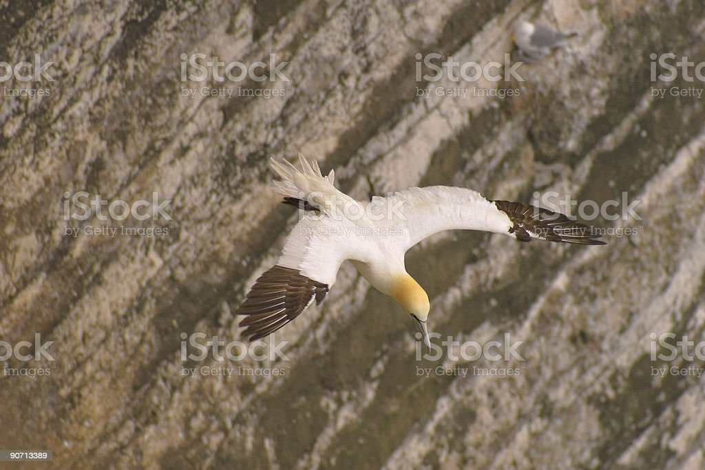 Gannet on the wing royalty-free stock photo