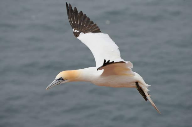 genten (sula bassana) - northern gannet stockfoto's en -beelden