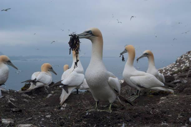 gannet (sula bassana) - northern gannet stockfoto's en -beelden