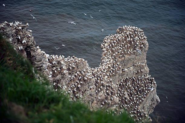 gannet - northern gannet stockfoto's en -beelden