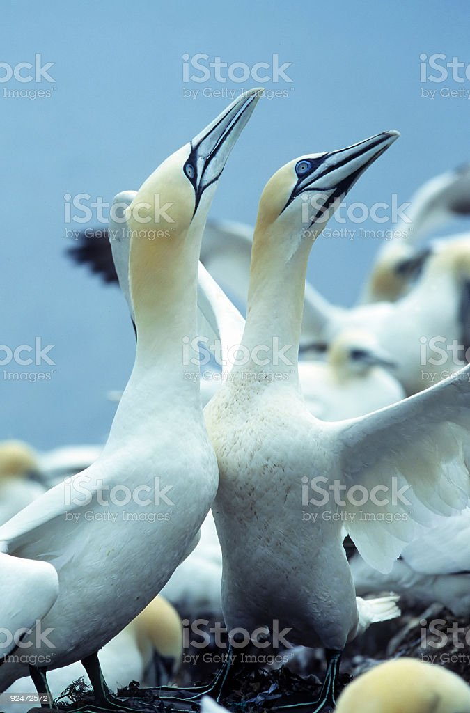 Gannet royalty-free stock photo