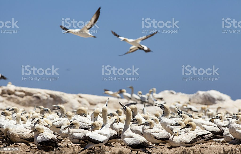 Gannet sea bird colony stock photo