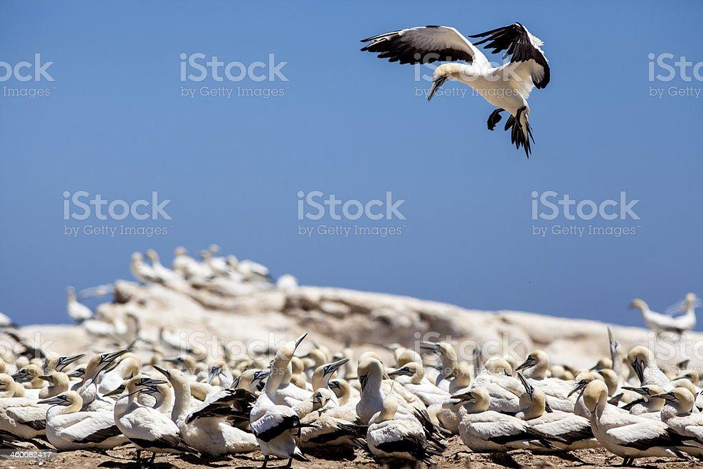 Gannet sea bird stock photo