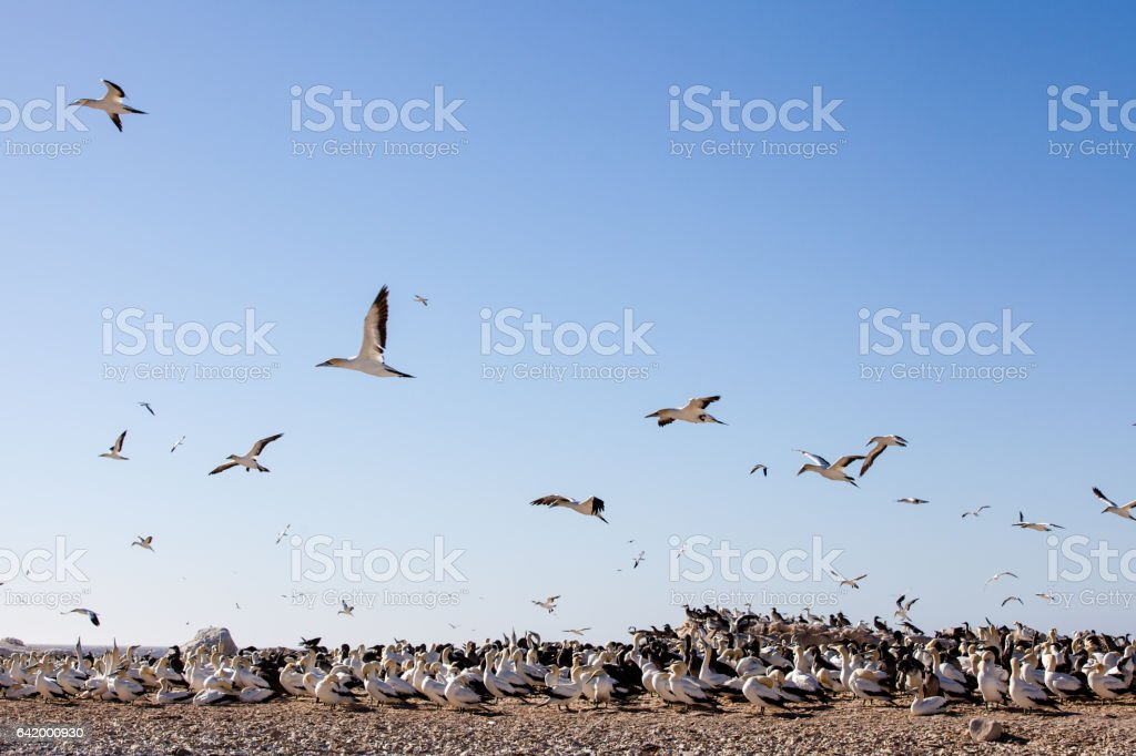 Gannet seabirds roost and fly over Bird Island, Lamberts Bay, South Africa stock photo