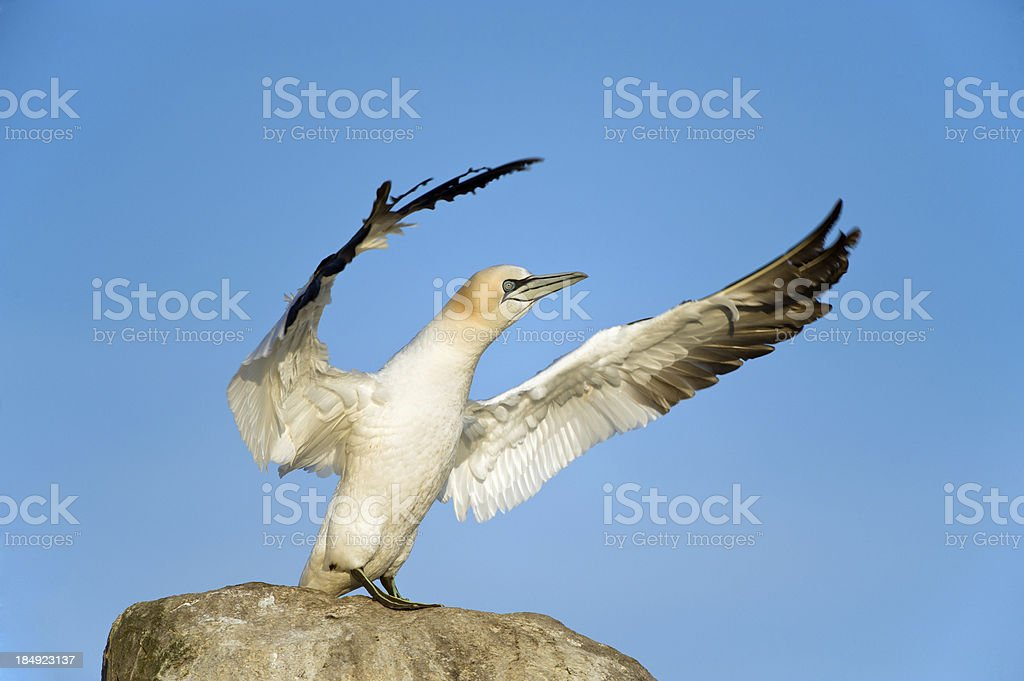Gannet stretching its wings at a Colony stock photo