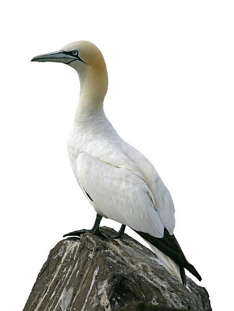 gannet, sula bassana - northern gannet stockfoto's en -beelden