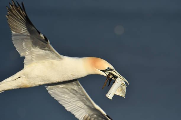 gannet with plastic cup. - uccello marino foto e immagini stock