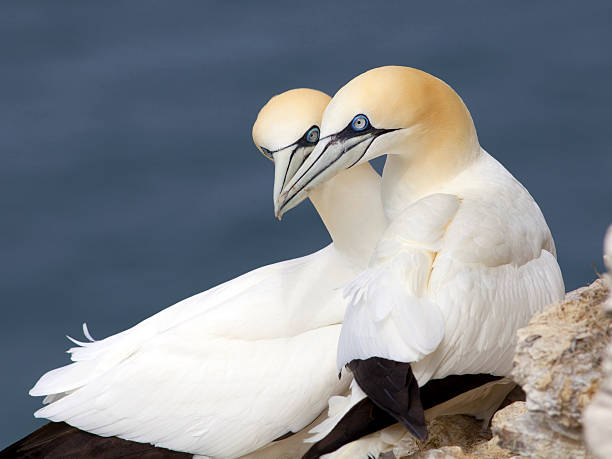 gannets at bempton cliffs, england - northern gannet stockfoto's en -beelden