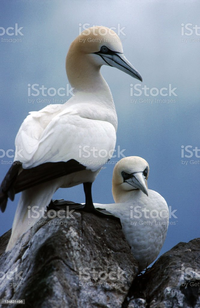 Gannets, Bass Rock, Scotland royalty-free stock photo