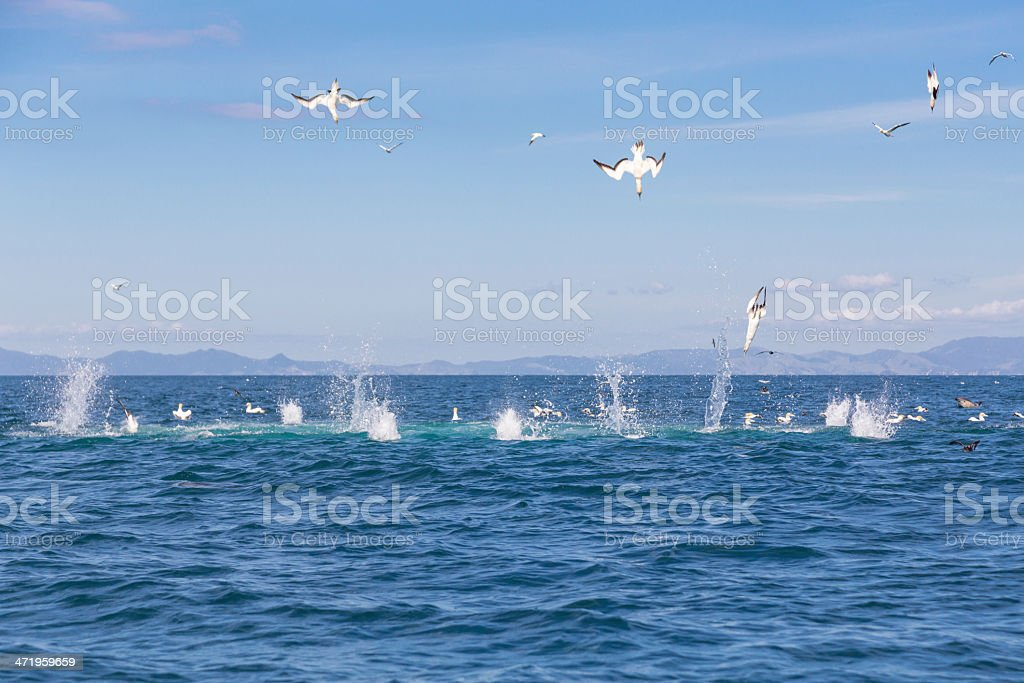 Gannets diving for fish stock photo