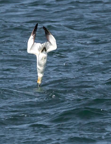 genten duiken - northern gannet stockfoto's en -beelden