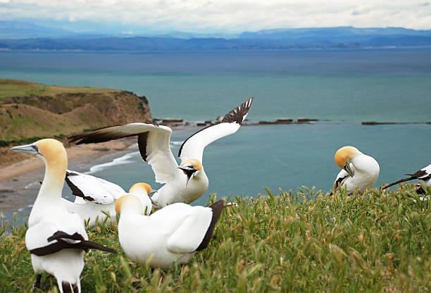 gannets fighting - northern gannet stockfoto's en -beelden
