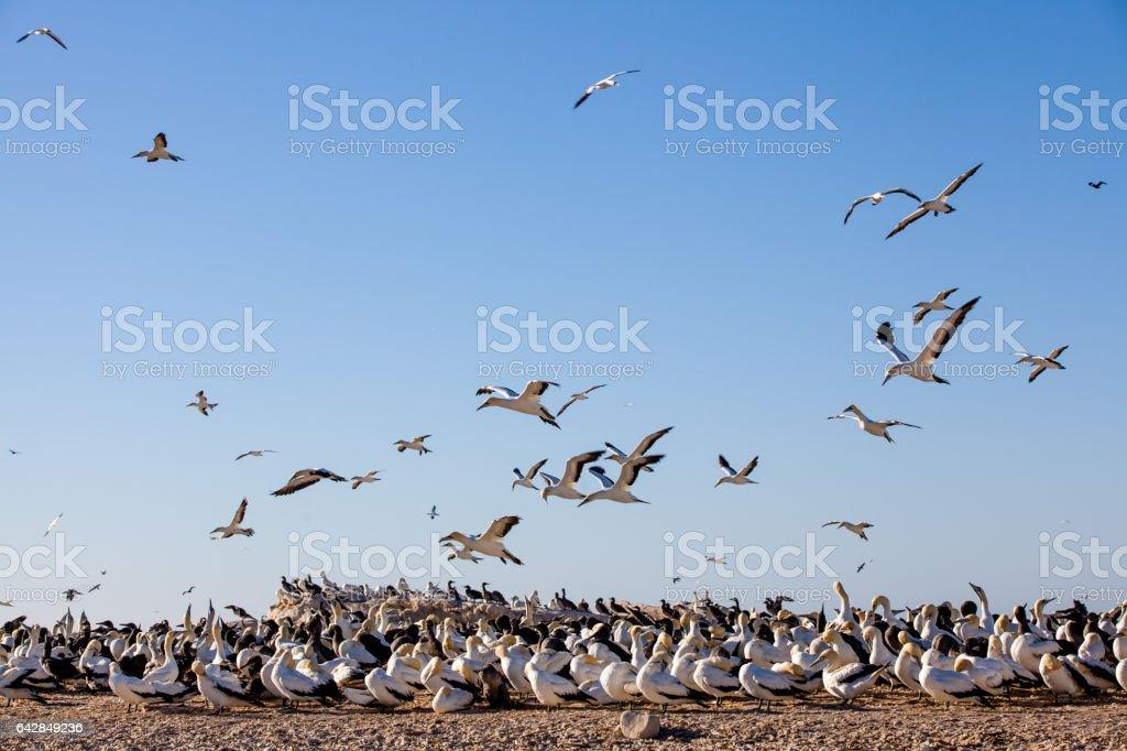 Gannets flying over seabird colony at Bird Island, Lambert's Bay, Africa stock photo
