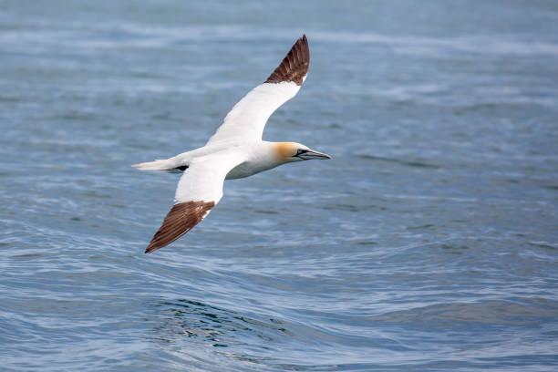 gannets (morus bassanus) grassholm island, pembrokeshire, verenigd koninkrijk - northern gannet stockfoto's en -beelden