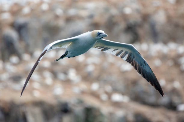 Gannets (Morus Bassanus) Grassholm Island, Pembrokeshire, UK stock photo
