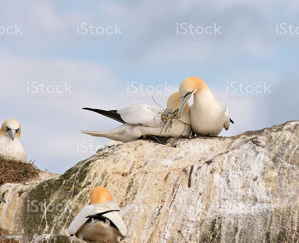 Gannets nesting at a Colony stock photo