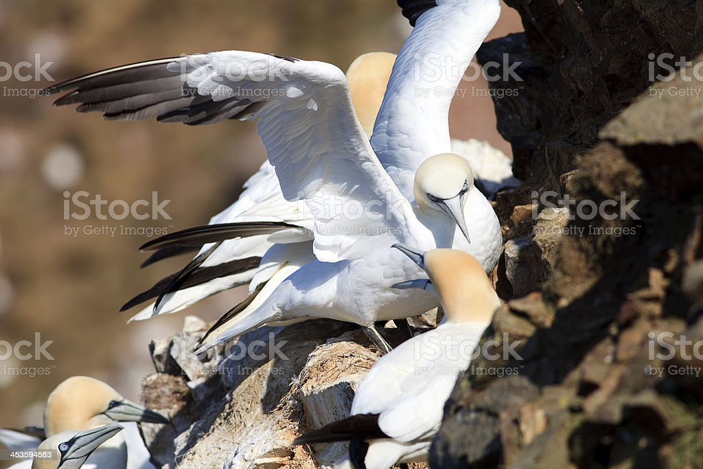 Gannets Nesting at Troup Head, Scotland royalty-free stock photo