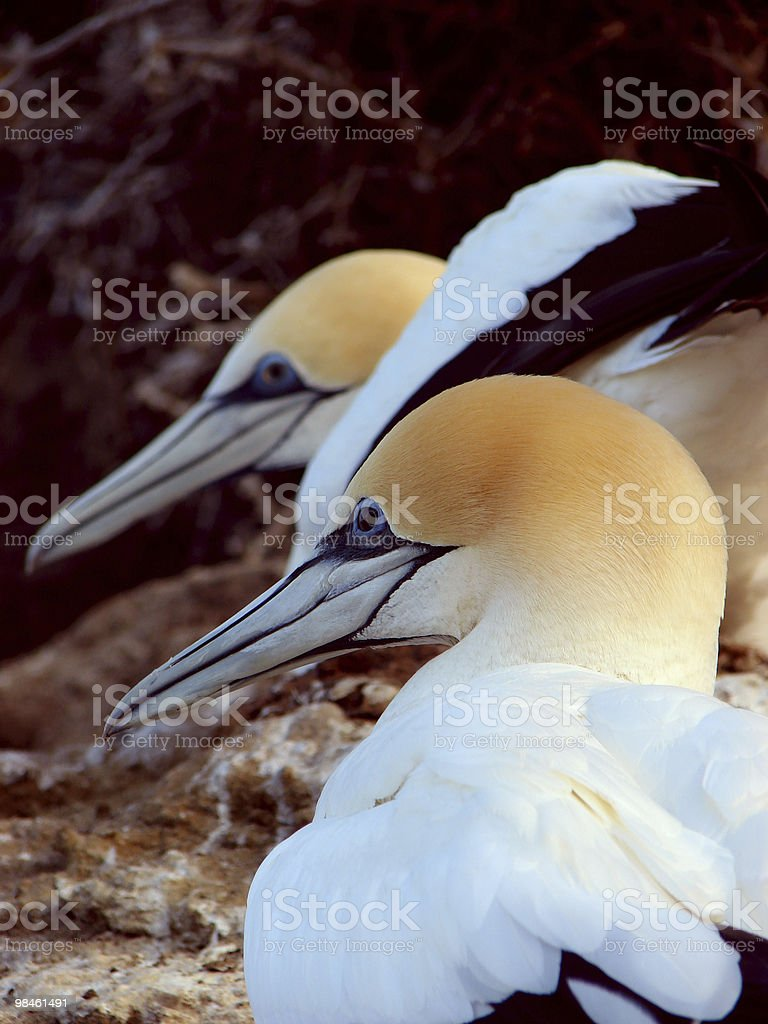 Gannets nesting royalty-free stock photo