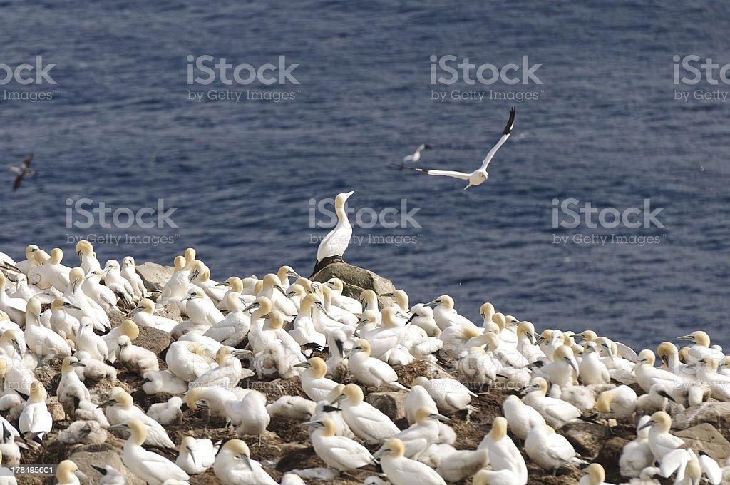 Gannets on a coastal island stock photo