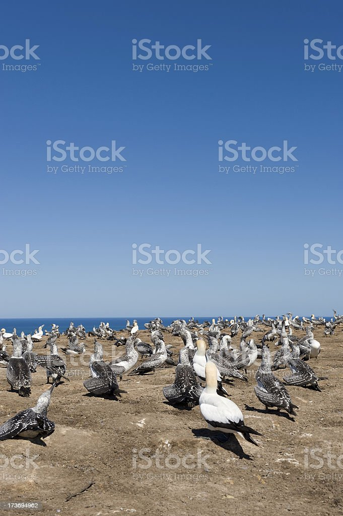 Gannets royalty-free stock photo
