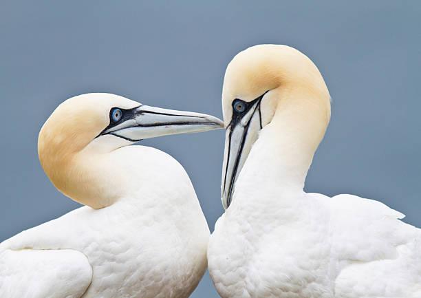 gannets - northern gannet stockfoto's en -beelden