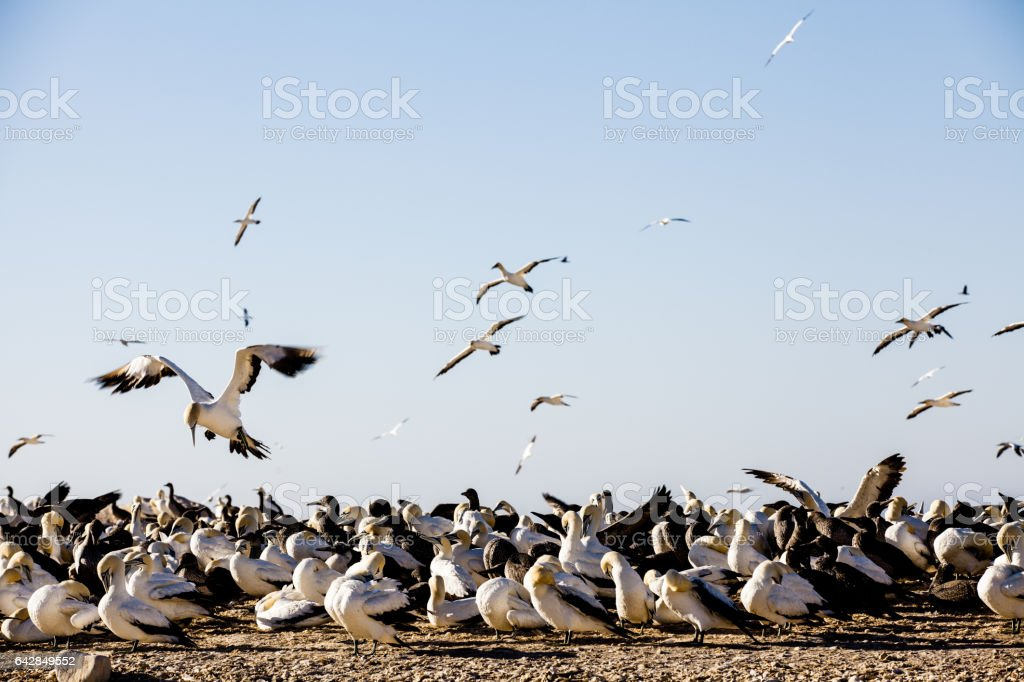 Gannets prepare to land at breeding colony in Lambert's Bay, South Africa stock photo