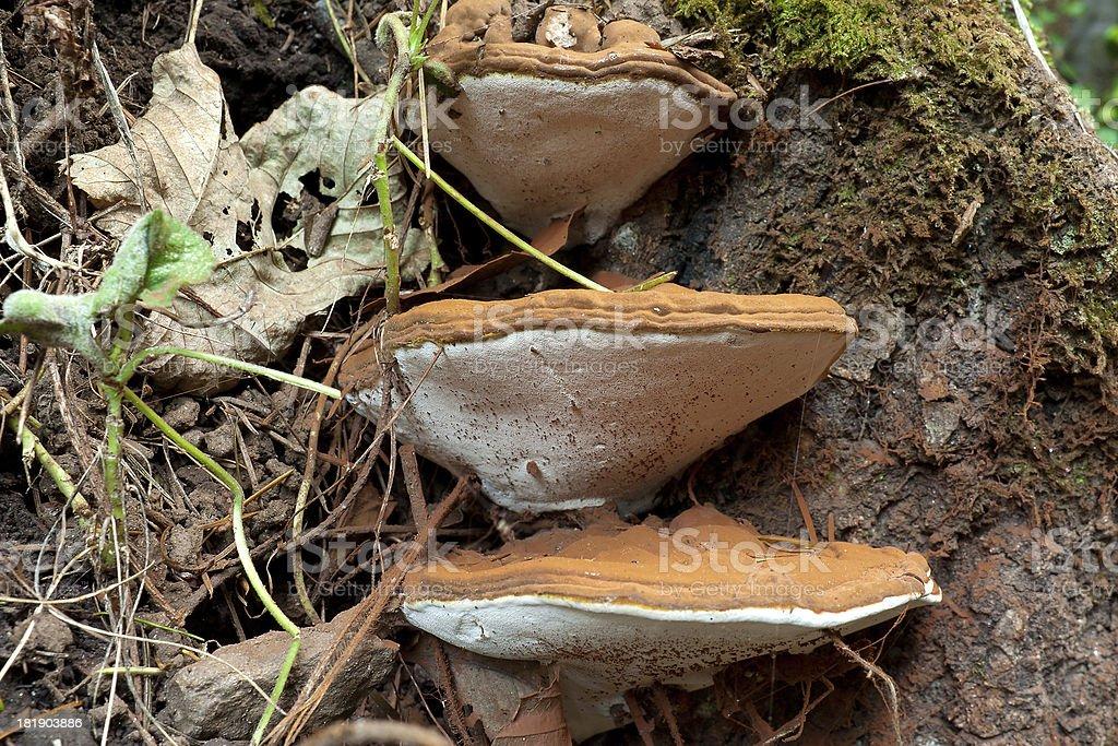 Ganoderma Applanatum fungi royalty-free stock photo