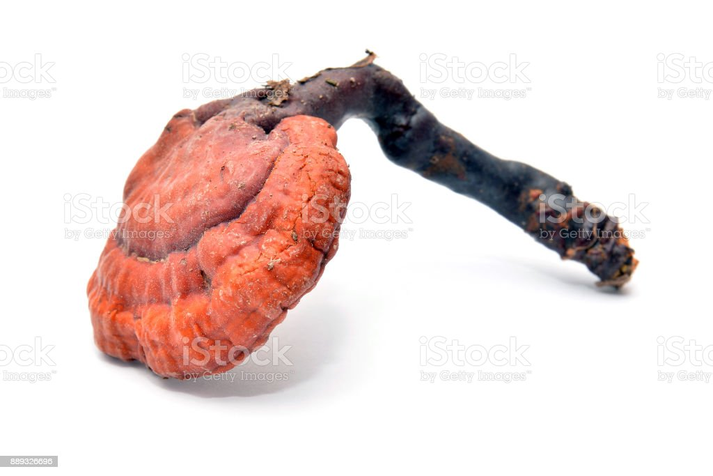ganoderma lucidum mushroom stock photo