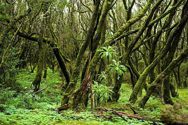 Garajonay Nationalpark (Teneriffa, Spanien) – Foto