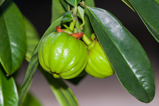 Garcinia Cambogia Hanging From A Tree In An Orchard Stock Photo