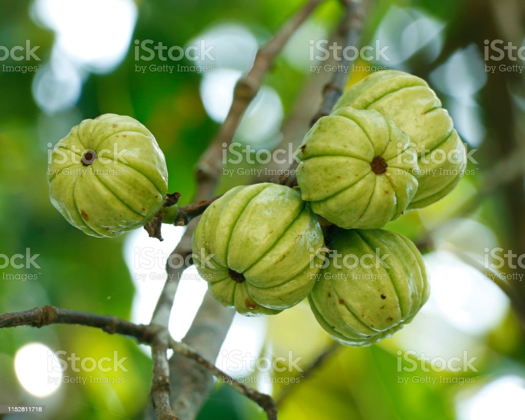 Garcinia Gummigutta Known As Garcinia Cambogia As Well As Brindleberry Malabar Tamarind And Pot Tamarind Stock Photo Download Image Now Istock