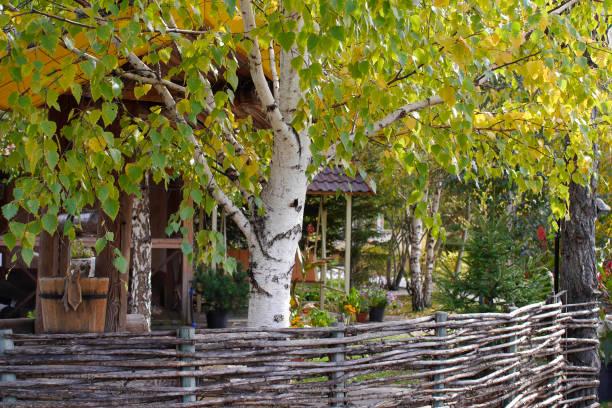 Close-up de bétula de jardim e árvore - foto de acervo