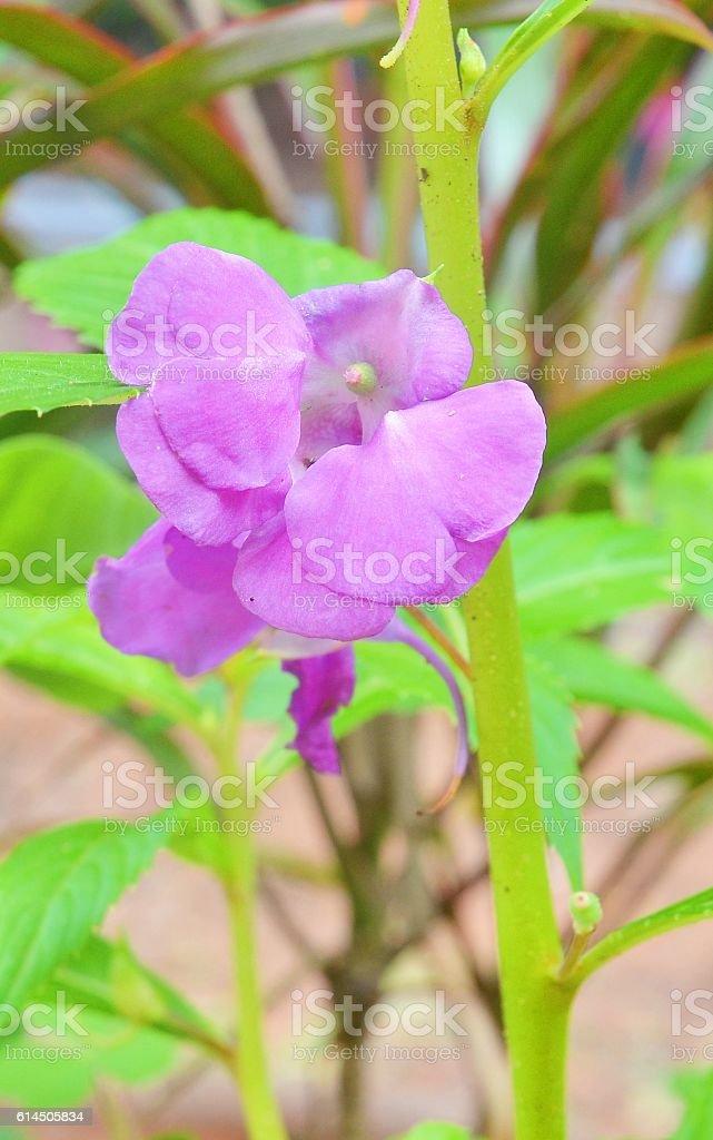 Garden Balsam stock photo