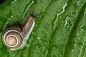 istock A garden banded snail creeps on a hosta leaf wet after rain. 1256241309