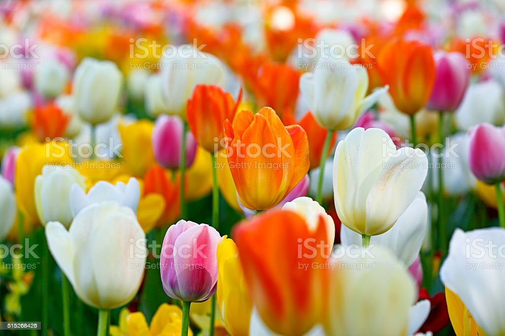 Garden bed of colourful tulip flowers stock photo