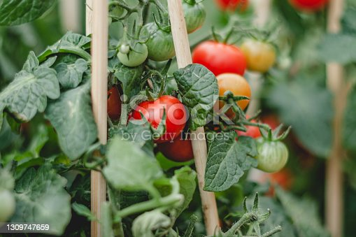 garden beds with tomatoes, red and green tomatoes on the bushes