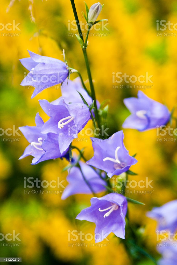 Garden Bells stock photo
