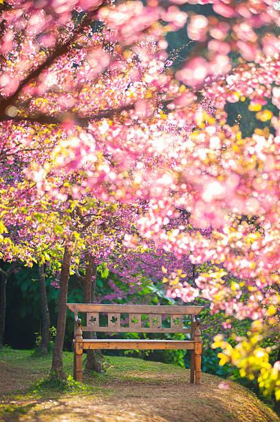 garden bench under the Pink sakura, blur style stock photo