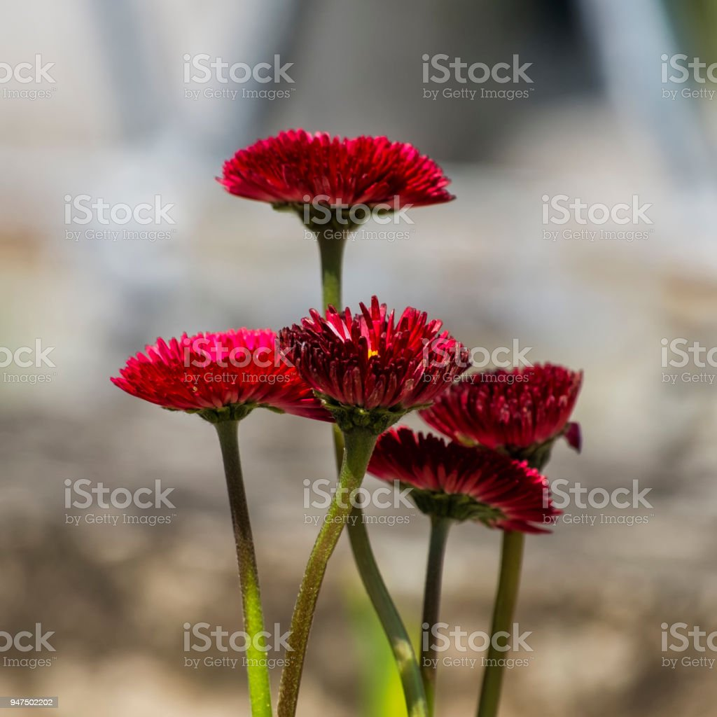 Garden burgundy English daisies (Bellis perennis) stock photo