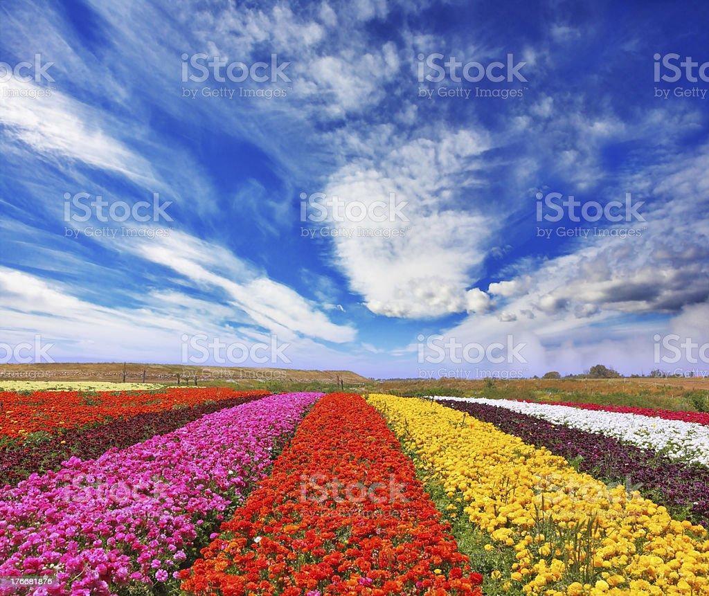 Garden buttercups /ranunculus/ royalty-free stock photo