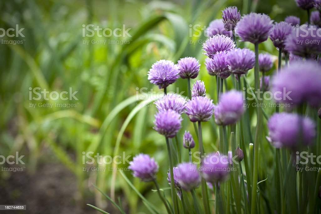Garden Chives in Vegetable Patch with Copy Space royalty-free stock photo