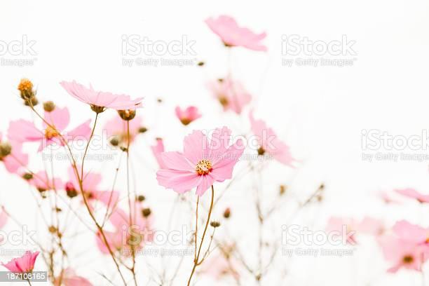 Garden cosmos flower picture id187108165?b=1&k=6&m=187108165&s=612x612&h=b3zsbzqlsufmnedxyqr1w2m6rauernfenjy gmpfe4o=
