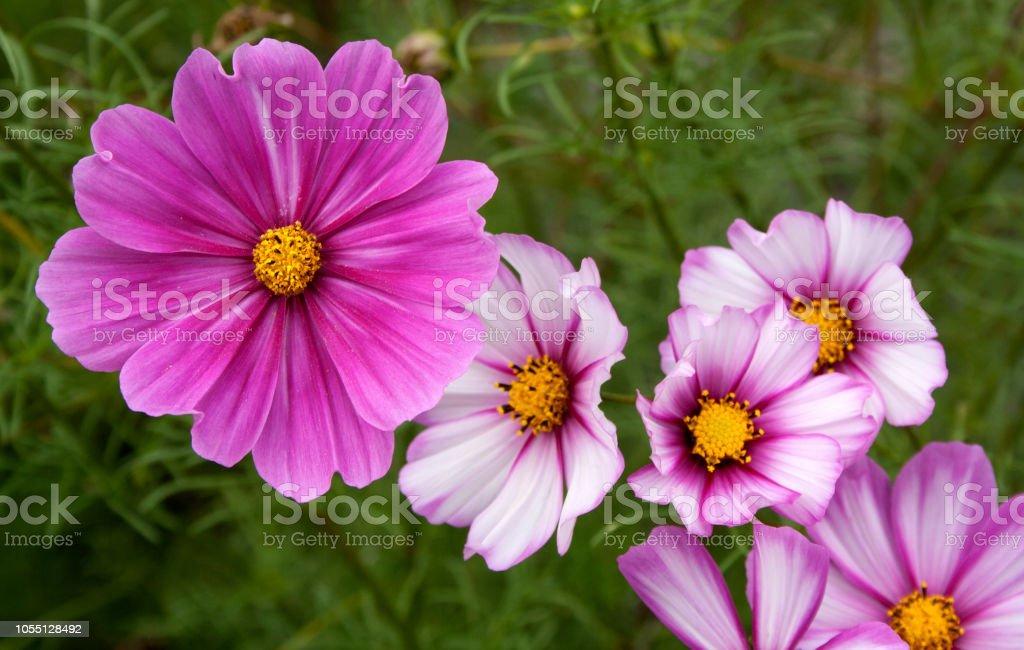 Garden Cosmos Flower Surrey England Stock Photo Download Image Now Istock