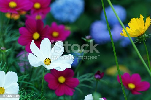 Garden cosmos, tickseed and hydrangea, Germany, Eifel.