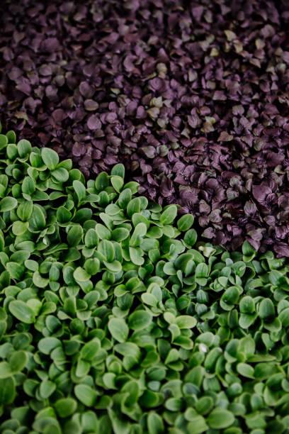 smörgåskrasse bakgrund - pea sprouts bildbanksfoton och bilder