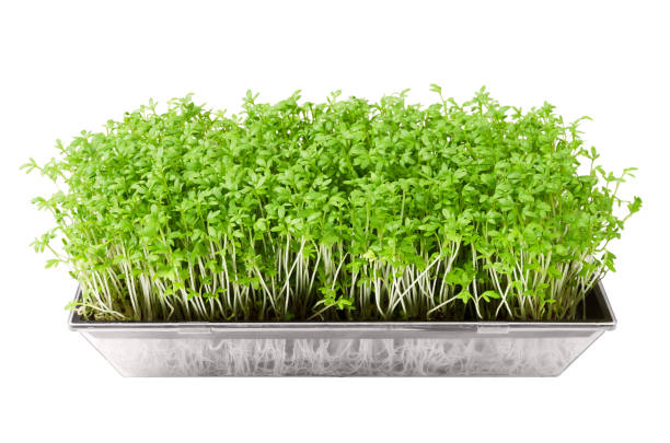 Garden cress in seed sprouter isolated over white Garden cress in seed sprouter isolated over white. Young plants of Lepidium sativum, an edible herb and microgreen. Also mustard and cress, garden pepper cress, pepperwort or pepper grass. Macro photo microgreen stock pictures, royalty-free photos & images