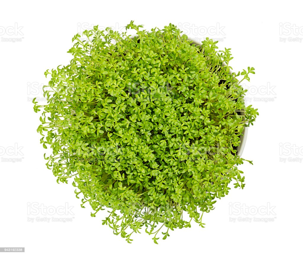Garden cress in white bowl from above over white stock photo