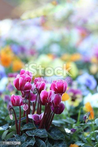 istock garden Cyclamen 1188747348