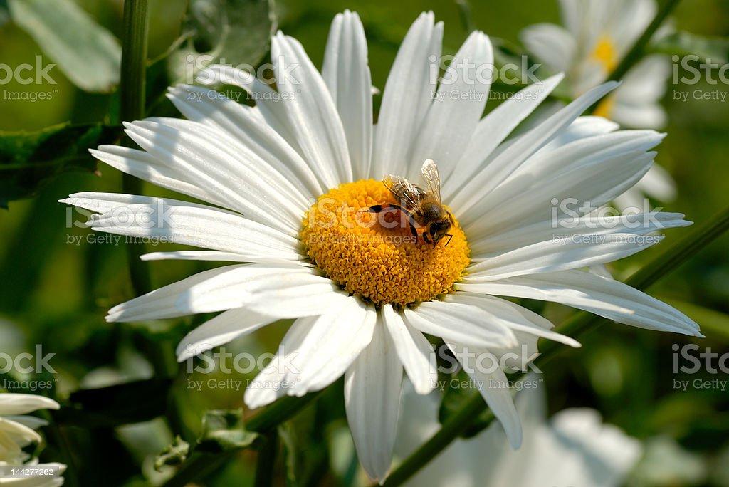 Garden daisy with bee stock photo