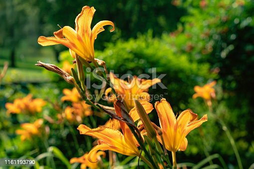 Garden Day Lily in Afternoon Light.